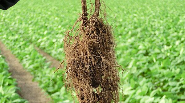 大豆の根っこにある「根粒菌」